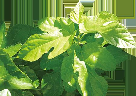 桑の小枝に含まれている食物繊維とDNJが腸活をサポートします